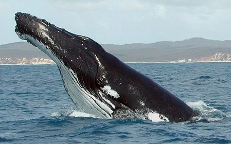 Humpback Whale fg1 cropped Snazzy Trips travel blog
