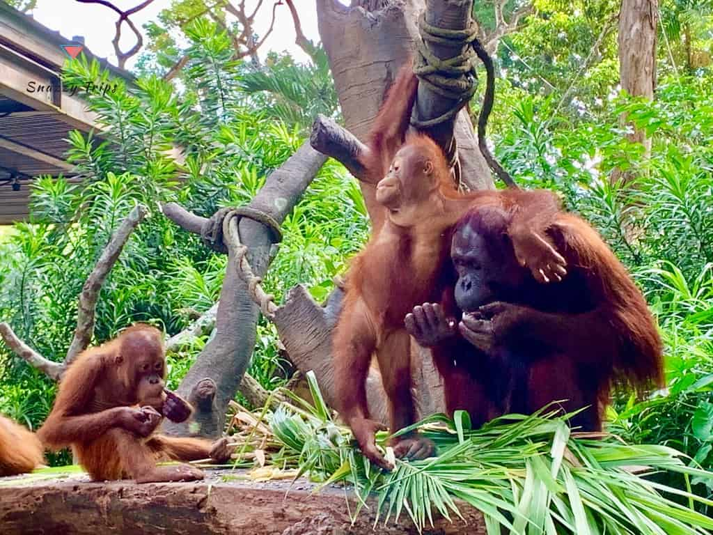 Jungle Breakfast With The Orangutans At Singapore Zoo